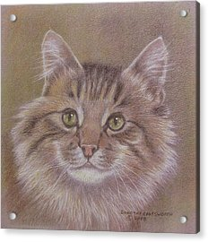 Maine Coon Cat Acrylic Print by Dorothy Coatsworth