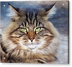 Maine Coon I Acrylic Print by Jai Johnson