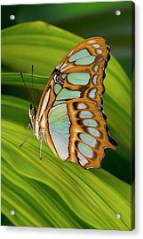 Malachite Butterfly (siproeta Stelenes) On Rhapis Palm Leaves (rhapis Excelsa) Acrylic Print by Darrell Gulin