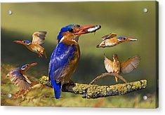 Malachite Kingfisher Collage Acrylic Print by Basie Van Zyl