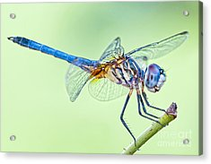 Male Blue Dasher Dragonfly Acrylic Print by Bonnie Barry