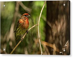 Male Finch In Red Plumage Acrylic Print by Angela A Stanton