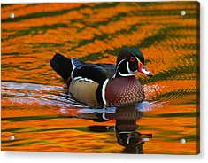 Male Wood Duck, Aix Sponsa, Swimming Acrylic Print by Darlyne A. Murawski