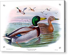 Mallard Or Wild Duck Antique Bird Print Joseph Wolf Birds Of Great Britain  Acrylic Print by Joseph Wolf - HC Richter