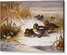 Mallard Widgeon And Snipe At The Edge Of A Pool In Winter Acrylic Print by Archibald Thorburn