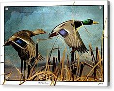 Mallards Hunting Season  Acrylic Print by John Williams