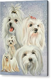 Maltese Collage Acrylic Print by Barbara Keith