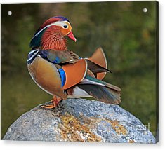 Mandarin Acrylic Print by Robert Pilkington
