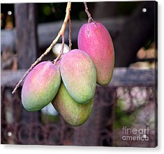 Mango Fruits On A Tree Acrylic Print by Yali Shi