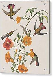 Mango Humming Bird Acrylic Print by John James Audubon