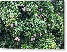 Mango Tree Acrylic Print by Inga Spence