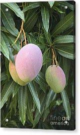 Mangoes Acrylic Print by Inga Spence