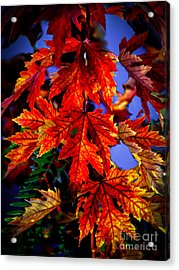 Maple Leaves Acrylic Print by Robert Bales