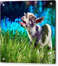 Baby Goat Kid Singing Acrylic Print by TC Morgan