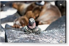 Marine Iguana Amongst The Sea Lions Acrylic Print by Robert Selin