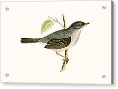Marmora's Warbler Acrylic Print by English School