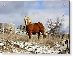 Master Of The Field Acrylic Print by Frederic Vigne