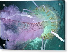 Mauve Stinger Jellyfish Acrylic Print by Angel Fitor