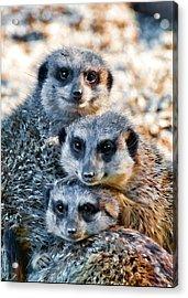 Meerkat Family's Bright Eyes Acrylic Print by Ginger Wakem