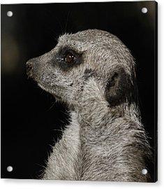 Meerkat Profile Acrylic Print by Ernie Echols