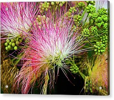 Mimosa Delight Acrylic Print by Matthew Moore Jr