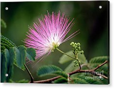 Mimosa1 Acrylic Print by Steven Foster