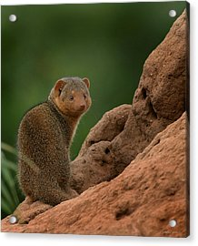 Mini Mongoose Acrylic Print by Joseph G Holland