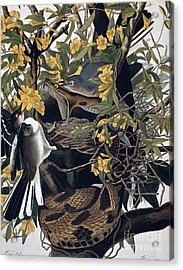 Mocking Birds And Rattlesnake Acrylic Print by John James Audubon