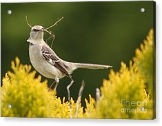 Mockingbird Perched With Nesting Material Acrylic Print by Max Allen