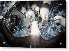 Mollymawk Fight Acrylic Print by Mark Bridgwater