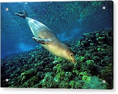 Monk Seal Dive Acrylic Print by Dave Fleetham - Printscapes