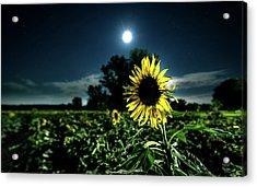 Moonlighting Sunflower Acrylic Print by Everet Regal