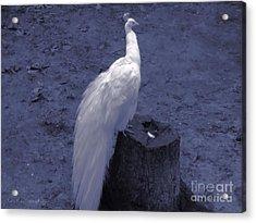 Moonlit Peacock Acrylic Print by Roxy Riou
