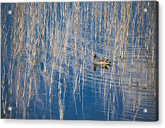 Moorhen In The Reeds Acrylic Print by Carolyn Marshall