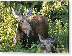 Moose - White Mountains New Hampshire  Acrylic Print by Erin Paul Donovan