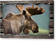 Moose Collection Acrylic Print by Marvin Blaine