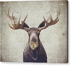 Moose Acrylic Print by Nastasia Cook