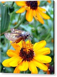 Moth  Acrylic Print by D R TeesT