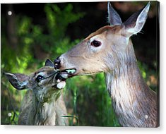 Mother Deer With Fawn Acrylic Print by Codee Hart