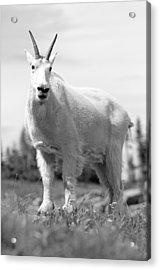 Mountain Goat Acrylic Print by Sebastian Musial