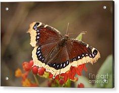 Mourning Cloak Butterfly Acrylic Print by Ana V Ramirez