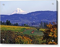Mt. Hood From A Dundee Hills Vineyard Acrylic Print by Margaret Hood
