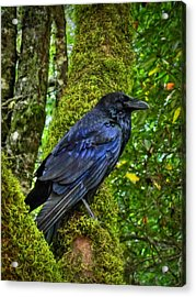 Muir Woods Raven 001 Acrylic Print by Lance Vaughn