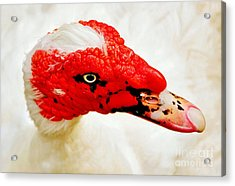 Muscovy Duck Acrylic Print by Kaye Menner