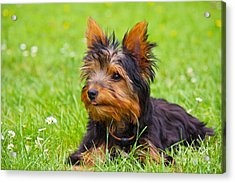 My Little Dog Acrylic Print by Angela Doelling AD DESIGN Photo and PhotoArt
