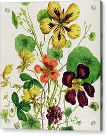Nasturtiums Acrylic Print by Jane Loudon
