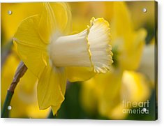 Nature's Trumpet Acrylic Print by Charles Dobbs