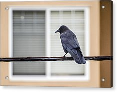 Nature - Crow On Wire Acrylic Print by Arthur Babiarz