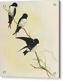 Nepal House Martin Acrylic Print by John Gould