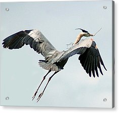 Nest Building II Acrylic Print by Sandy Poore